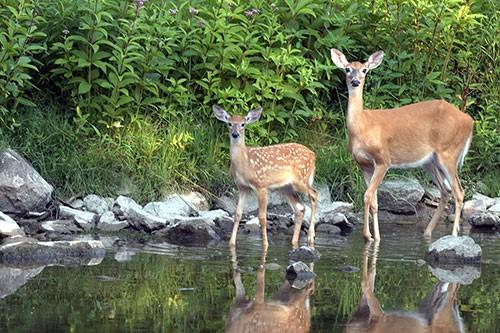 BBJ Deer