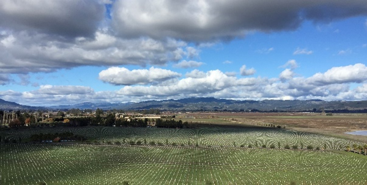 Grape Vineyard - Sonoma County Wine Region, California